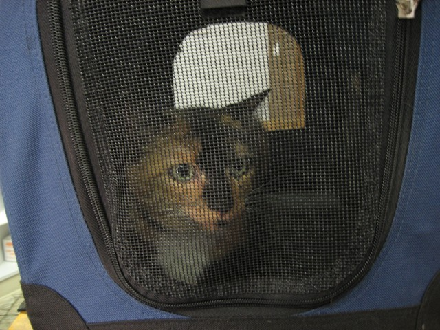 cat in carrier to see vet
