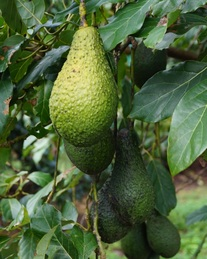 Pinkerton Avocado fruit