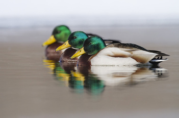 Mallard Ducks Swimming in a row