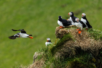 Atlantic Puffins at nesting site, Iceland