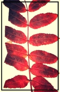 red mountain ash leaves branchlet autumn